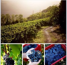 Amazing landscape, grape,friends! www.borghetto.org Wine Recipes, Cozy, Landscape, Fruit, Friends, Amazing, Amigos, Boyfriends, Landscape Paintings