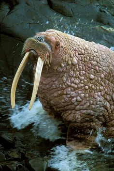 Walrus-Scientific name: Odobenus rosmarus-Google+