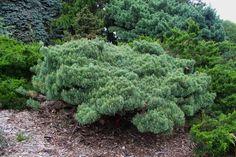 Pinus nigra Repens. Грунтопокривна форма сосни, висотою 40см. і шириною 200см. Хвоя зелена, довга, колюча. Прирости кремові, дуже цікаво виглядають на фоні хвої. Добре росте на сонячному місці і легких грунтах.
