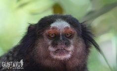 Só um sagui curioso... Just a curious monkey.  #sagui #monkey #macaco #wildlifeplanet #wildlifephotographer #wildlifephotography #wildlifeperfection #travelphotography #photographer #photooftheday #macrophotography #forest #forestanimals #nature #naturephotography #animais #photo #naturephotographer #gustavonatrilha #hiking #natgeo #natgeowild #animalsofbrasil #florianopolis #vidaselvagem #animaisdobrasil #sonya6000 #follow