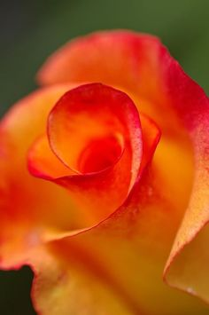 Rio Samba Hybrid Tea Rose               LOVE LOVE LOVE THIS ROSE!!!  It is beautiful in reality, not just in pictures!!!