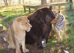 Lions, Tigers, & Bears-Oh My! Tiger, lion and bear form unusual friendship. Baloo the bear, Leo the Lion and Shere Khan the tiger have the most unusual and unlikely friendship between them ♥ Zoo Animals, Animals And Pets, Funny Animals, Cute Animals, Wild Animals, Exotic Animals, Beautiful Creatures, Animals Beautiful, Unlikely Animal Friends