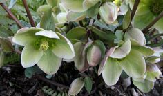 Christmas rose, Helleborus 'Walhelivor' Ivory Prince, Zone: 3 to 8, Herbaceous perennial, 1 to 1.5 feet tall and wide, Creamy white blooms March to May, Part shade to full shade, Medium watering, Low maintenance
