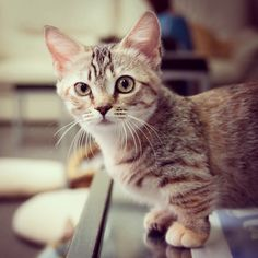This is a kind of cat called a munchkin cat. Its legs are really short. so cute!