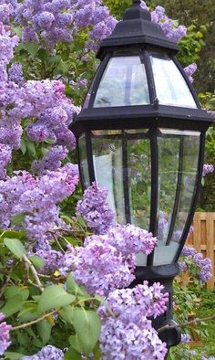 #Lilacs