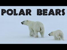 All About Polar Bears for Kids: Polar Bears for Children - FreeSchool