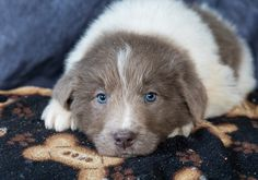 Lancaster Puppies pairs Newfoundland dog breeders with great people like you! Find your Newfoundland dog for sale here! Newfoundland Puppies, Nanny Dog, Lancaster Puppies, Animals Dog, Baby Puppies, Puppies For Sale, Mans Best Friend, Puppy Love, Corgi