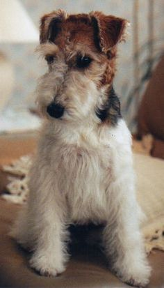 wire fox terriers- exquisite young dog.