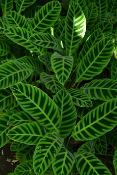 Calathea zebrina, native to Brazil Calathea Plant, Shade Plants, Cool Plants, Green Plants, Tropical Garden, Tropical Plants, Trees To Plant, Plant Leaves, Urban Gardening