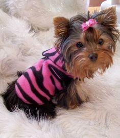 Dog Clothes of Yorkie. Yorkies, Yorkie Puppy, Yorkie Clothes, Pet Clothes, Cute Puppies, Cute Dogs, Dogs And Puppies, Yorky Terrier, Baby Animals