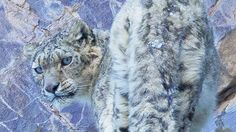 An Irish wildlife photographer captures incredible shots of wild snow leopards in the Indian Himalayas. Big Cats, Cats And Kittens, Cats 101, Rare Images, The Weather Channel, Great White Shark, Leopards, Animals Beautiful, Beautiful Things