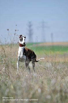 #Photography #Dogs #Greyhounds  http://nanocalvo.wordpress.com/2012/04/12/adopta/