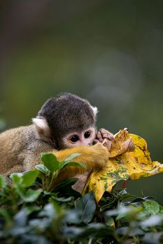 Squirrel Monkey at ZSL London Zoo by Sophie L. Miller, via Flickr