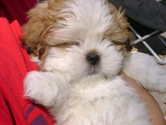 the cutest puppies in all the land...It's a baby shi tzu!!
