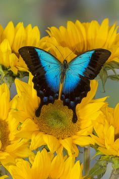 Tropical Swallowtail Butterfly, Papilio perides
