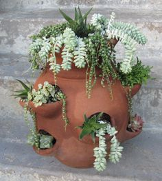 succulents in an old strawberry pot
