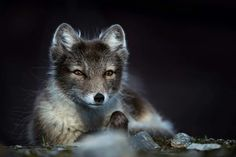 Arctic Fox by Fabien Dal Vecchio