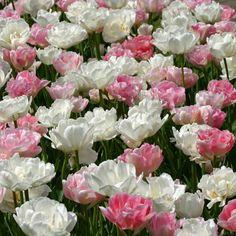 """Tulpenmischung """"Pink Cloud"""" - """"Ungefähr vor vier Jahren habe ich diese Mischung aus Angelique und Mount Tacoma auf dem Keukenhof gepflanzt. Es war kein Durchkommen mehr, alle Menschen hielten an, um Fotos von den Tulpen zu machen."""" - Carlos van der Veek. Pflanzzeit ist im Herbst - online bestellbar bei www.fluwel.de"""