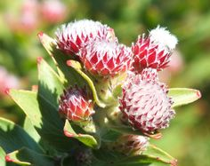 Leucospermum bolusii - otherwise known as the Gordons Bay Pincushion which only grows on the hills near where I live. These are the buds which have more colour than the open flower, which only opens in September. Pin Cushions, Bud, Cape, Flora, Cute Animals, September, Colour, Mantle, Pretty Animals