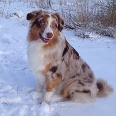 They are just naturally beautiful dogs. | 19 Reasons Australian Shepherds Are The Best-Looking Dogs In The World
