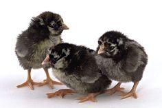 Hoover's Hatchery Silver Laced Wyandotte chicks. #HooversHatcheryChickens