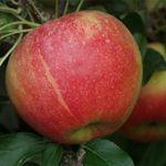 Appelboom Elstar - plukken in september aanbevolen door Kees  geplant okt 13