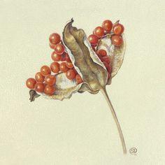 Shevaun Doherty – The Society of Botanical Artists