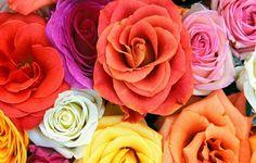 Rosas: o encanto dos jardins - Rosas:  As respostas para as principais perguntas sobre o seu cultivo    Por: Rose Aielo Blanco*  1. Onde plantar? De preferência, num local ensolarado e bem arejado. Para florescer bem e praticamente o ano todo, a roseira precisa de sol pleno, ou seja, pelo menos de 6 a 7 horas diárias d... - http://www.pisoecologico.com.br/ecoblog/2016/04/28/rosas-o-encanto-dos-jardins/