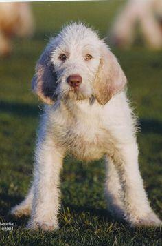 Spinone Italiano, Spinoni Italiani, Italian Griffon Pointer #Dog #Puppy