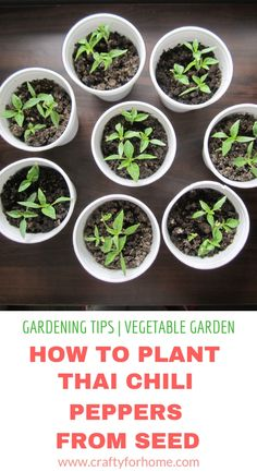 Two different ways to plant Thai chili peppers seed indoor to get ready for gardening season. Organic Gardening, Gardening Tips, Indoor Gardening, Vegetable Gardening, Balcony Gardening, Thai Chili, Thai Peppers, Chilli Plant, Growing Peppers