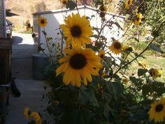 Sunflower delight...