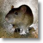 First Mammal To Go Extinct Is A Rat & No, It's NOT Donald Trump!