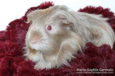 My guinea pig BLONDIE - by Marie-Sophie Germain