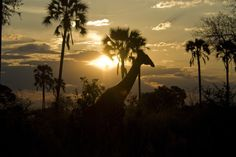 A giraffe stands silhouetted against the palm trees and setting sun in the Okavango Delta. (Photo by Jodi Cobb/National Geographic Creative)...