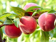 Red Haven Peach Tree is semi-freestone, sweet, juicy and one of the best for canning. The fruit is red, lightly blushed with yellow. Fruit Plants, Edible Plants, Fruit Trees, Dwarf Peach Tree, Peach Trees, Bonsai Seeds, Tree Seeds, Sweet Potato Seeds, Raintree Nursery