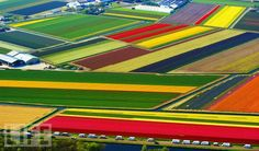 tulips in the netherlands - I have been to the Netherlands twice, both times in cold weather. I would love to go back and see these beautiful colors!
