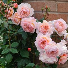 A Shropshire Lad. Climber. RHS AGM, highly fragrant, repeat flowering, good disease resistance. Also copes in shady areas