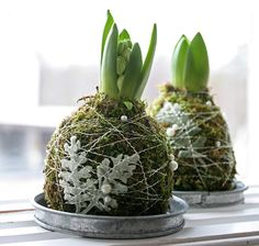 Forced hyacinth bulbs ; Gardenista  Photograph via Holmsunds Blommor.