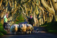 The Dark Hedges, Bregagh Road, Ballymoney (Northern Ireland) - Rush hour traffic along Co. Antrim's dark hedges really isn't that baaaaaaaaaaad. Love Ireland, Ireland Travel, Ireland Facts, Game Of Thrones Locations, Irish Eyes Are Smiling, Emerald Isle, Belfast, Hedges, Northern Ireland