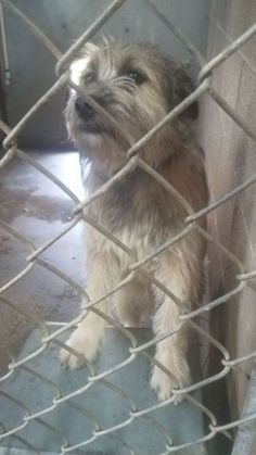 Sambo, adoptable Dog, Young Male Wheaten Terrier Mix Wheaten Terrier Mix, Pet Adoption, Shelter, Dog, Pets, Animals, Puppies, Diy Dog, Animales