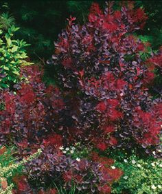 10 Shrubs for Summer Color: These vibrant bloomers give even the showiest annuals and perennials a run for their money. Read more here http://www.finegardening.com/design/articles/10-shrubs-for-summer-color.aspx