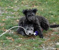 pumi dog photo | Some puppy pictures of Poppette - by herself and with her sister ...