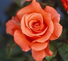 Different of Type Tea Roses Beautiful Rose Flowers, Beautiful Flowers, Foto Rose, Rose Reference, Orange Roses, Black Roses, Hybrid Tea Roses, Little Flowers, Rose Cottage