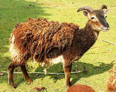 The Soay breed of sheep, from the very remote islands of St Kilda. This is an extremely primitive breed...this breed has been around since the Neolithic stone age