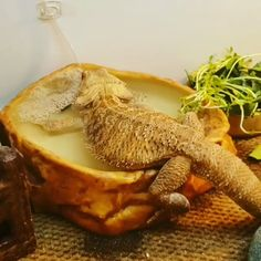 How Do Bearded Dragons Drink Water? Best (Buying Guide) beardeddragon Video Credit: on Insta How do Bearded Dragons Drink? Bearded dragons will mostly drink water from a shallow bowl, or they will lick water droplets off . (Read More) Bearded Dragon Food, Bearded Dragon Terrarium, Bearded Dragon Habitat, Bearded Dragon Vivarium, Les Reptiles, Cute Reptiles, Amphibians, Bartagamen Terrarium, Reptile Terrarium