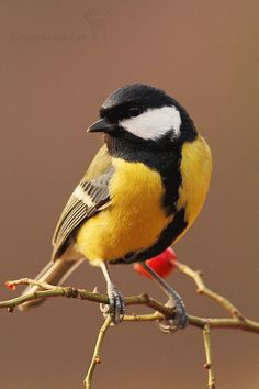 Parus major - Sýkorka ve? : Parus major - Sýkorka ve? Pretty Birds, Love Birds, Beautiful Birds, Animals Beautiful, Cute Animals, Tiny Bird, Small Birds, Little Birds, Colorful Birds
