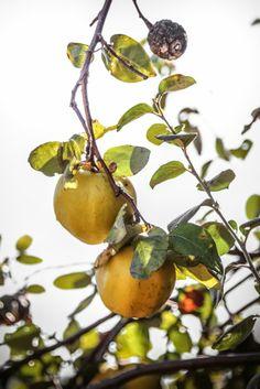 - VANIGLIA - storie di cucina: L'autunno, i colori, i sapori, gli stati d'animo e la gelatina di mele cotogne di Gioia