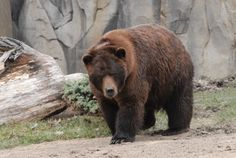 Grizzly bears may have diet lessons that can be helpful for humans - The Washington Post