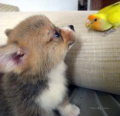Pembroke Welsh Corgi Puppy; so freaking cute