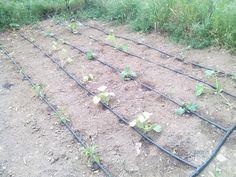 Los plantones van creciendo bien.